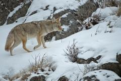 Coyote-on-Snow