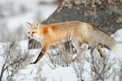 Fox on the Move 2