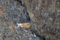 Fox on the Rocks