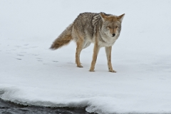 Snowy Creek Coyote 2