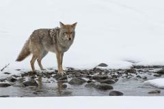 Snowy Creek Coyote