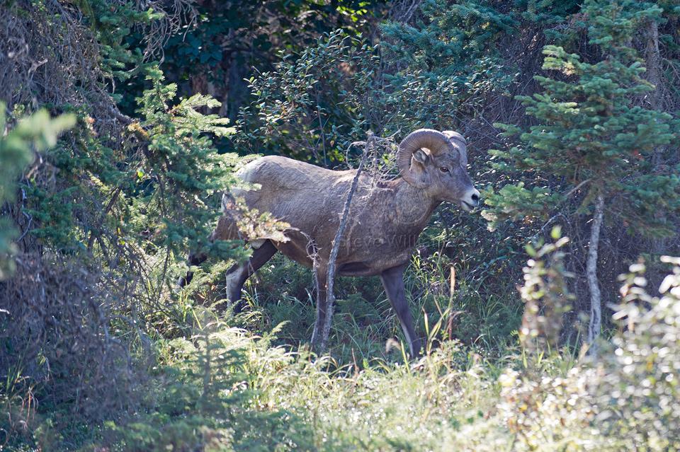 Big-Horn-Sheep-Ram.jpg