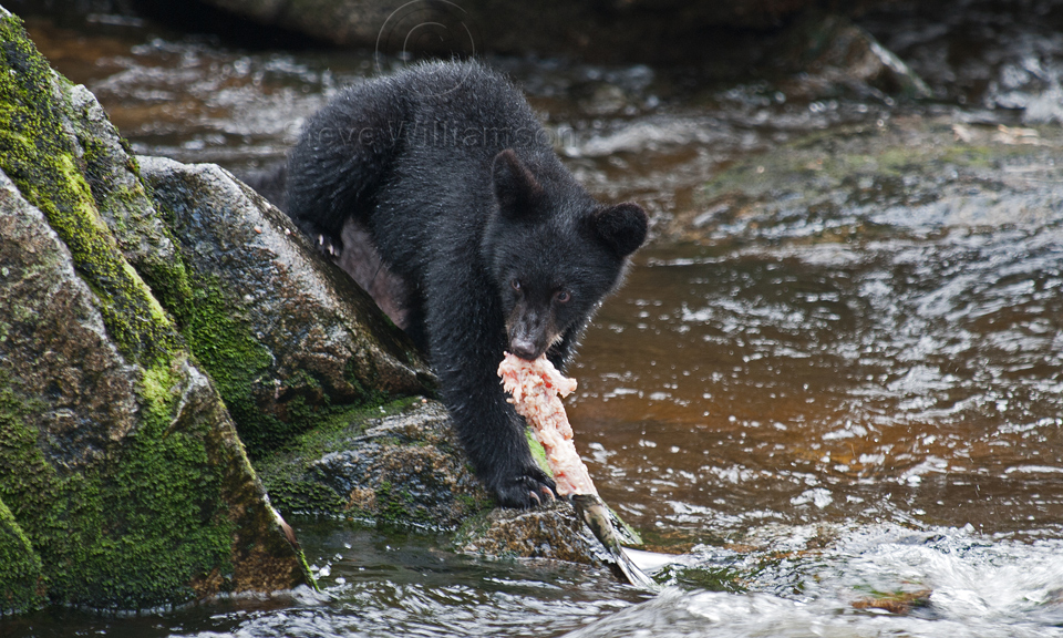 Black-Bear-Cub-Salmon.jpg