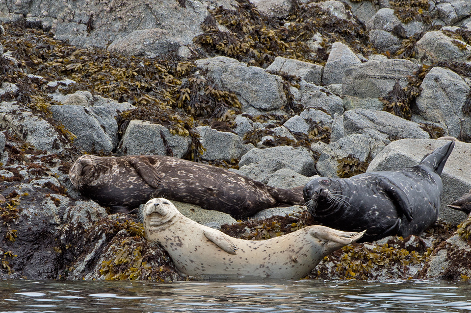 harbor seals essay A very cute true story about a seal that became a honorary harbor master of rockport, maine for 20 years up until his death in 1986 it served as the inspiration for 1993 family film andre a great book (quick read) for any animal lover.