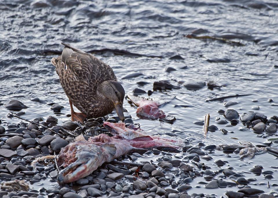Mallard-Salmon.jpg