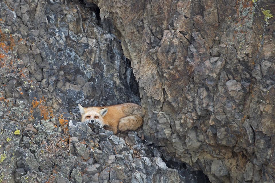 Fox-on-the-Rocks-1.jpg
