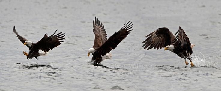 Fishing-Eagle.jpg