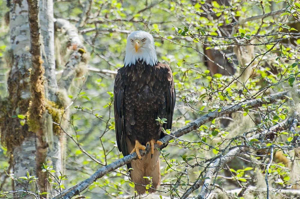 North-American-Bald-Eagle.jpg