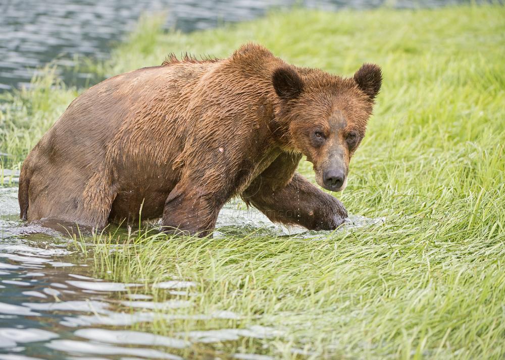 Grizzly-Strut.jpg