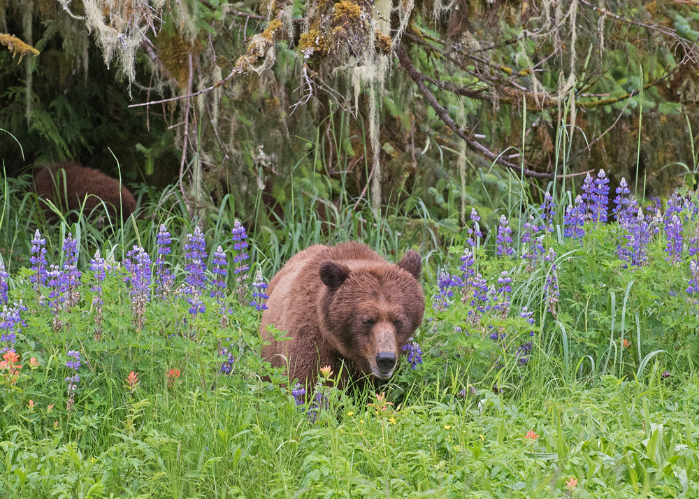 Grizzly-in-the-Flowers.jpg