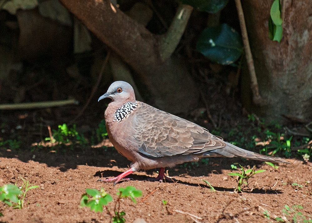 Spotted-Dove.jpg