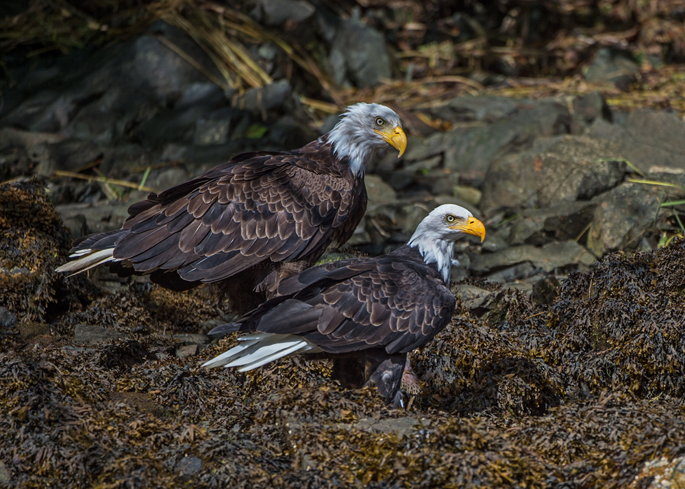 Eagle-Couple.jpg