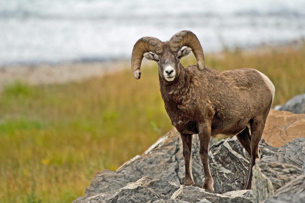 Bighorn-Sheep-2-1024x682.jpg