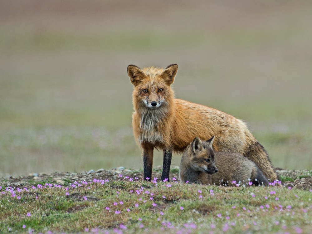 Red-Fox-Mom-and-Kit.jpg