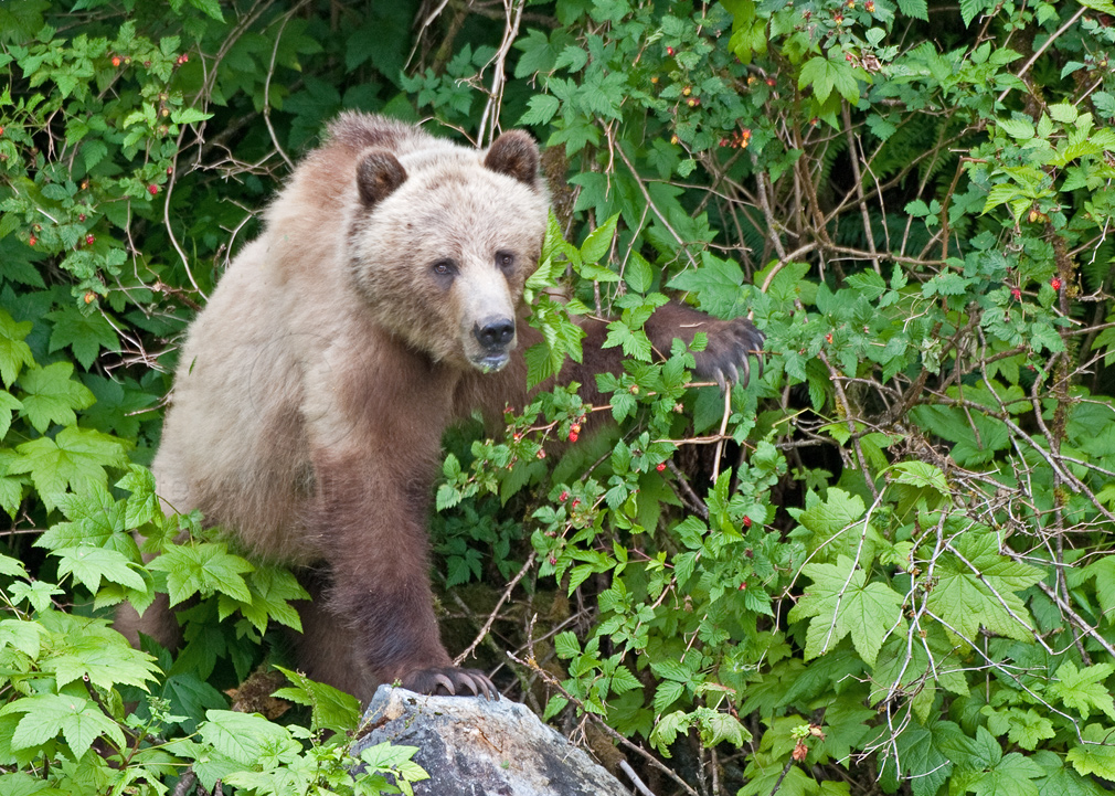 Grizzly-and-Salmon-Berries.jpg