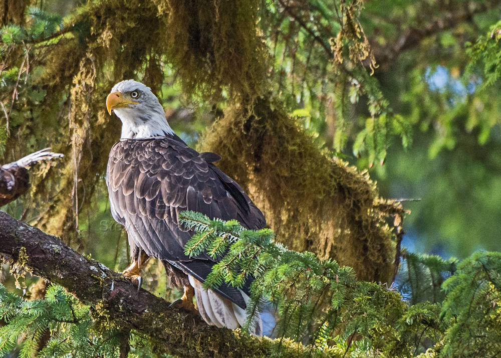 Eagle-in-the-Tree-3.jpg