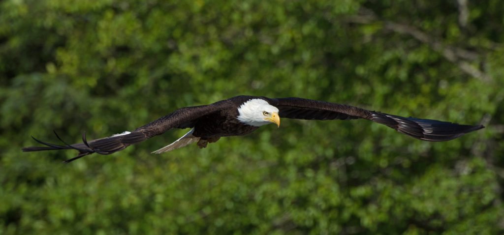 Eagle-on-the-Hunt-1024x478.jpg