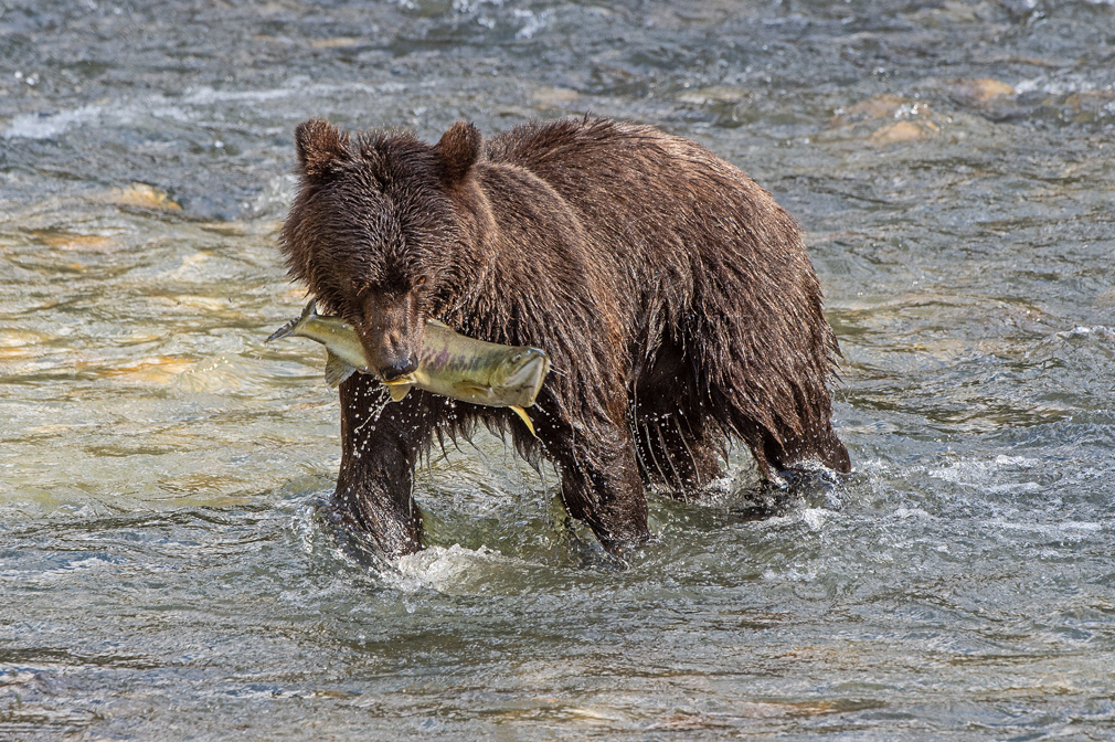 Female-Grizzly-and-Chum.jpg