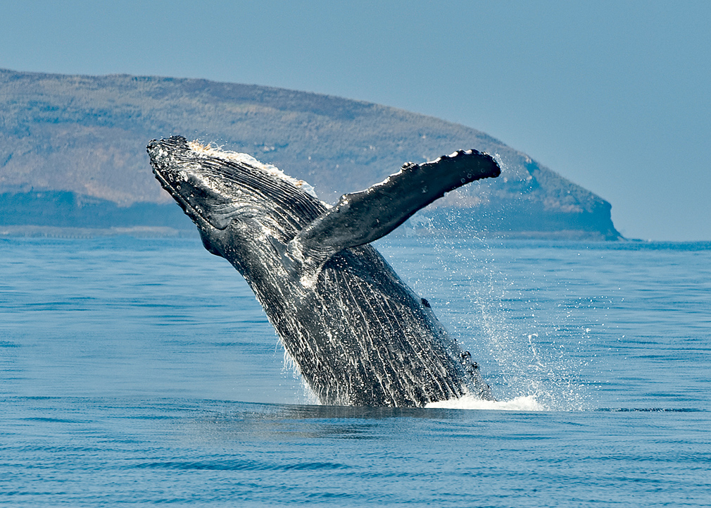 Humpback-Whale-Breach.jpg