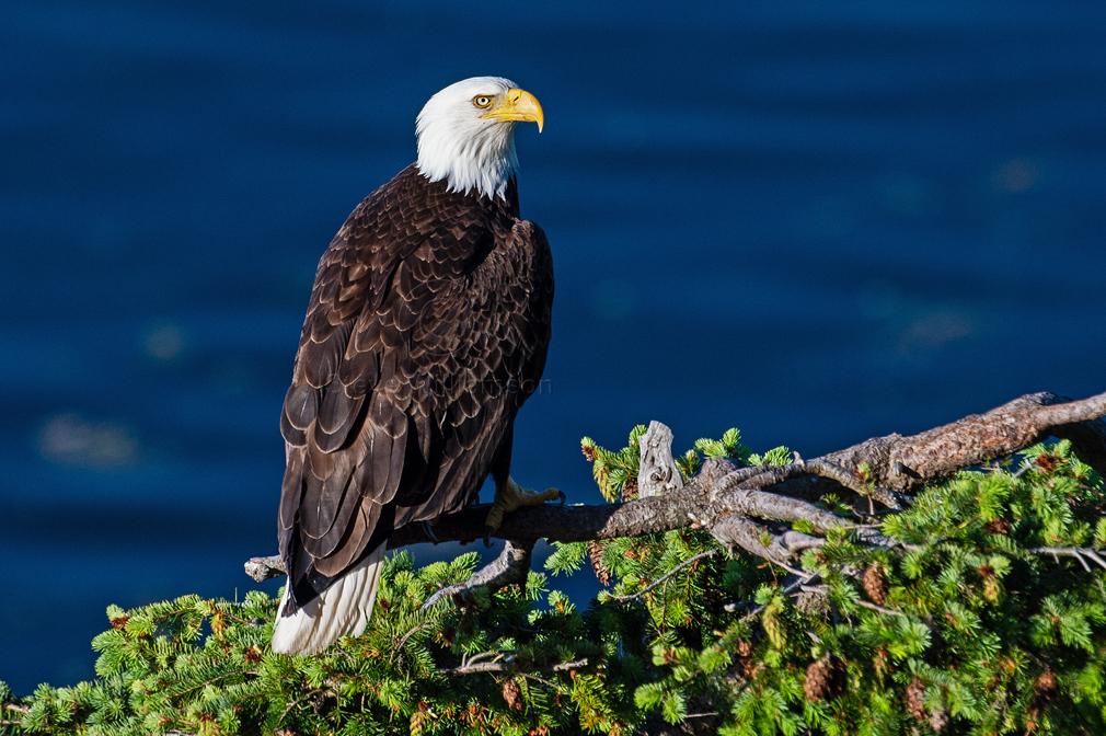 Treetop-Eagle-5.jpg
