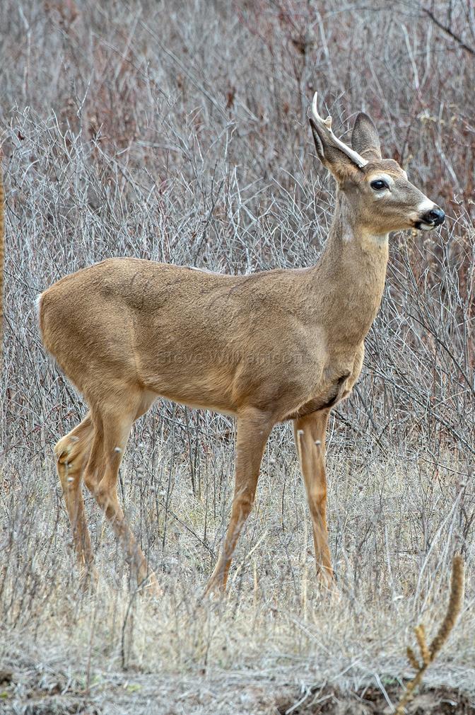 White-tail-Buck.jpg