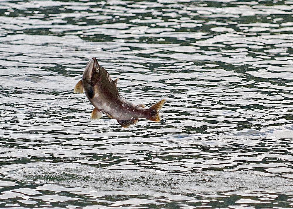Leaping-Pink-Salmon.jpg