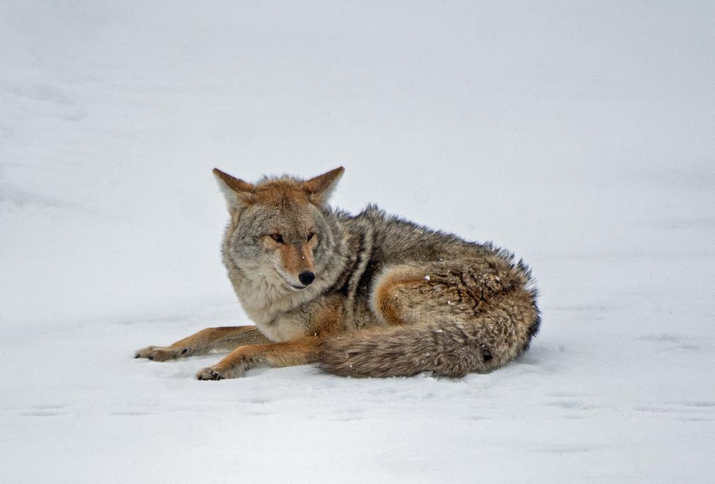 Fireside-Coyote.jpg