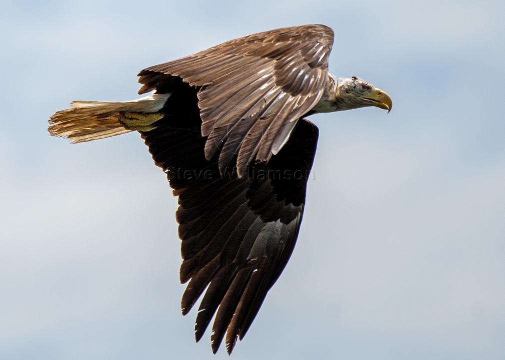 Alopecia-Eagle.jpg
