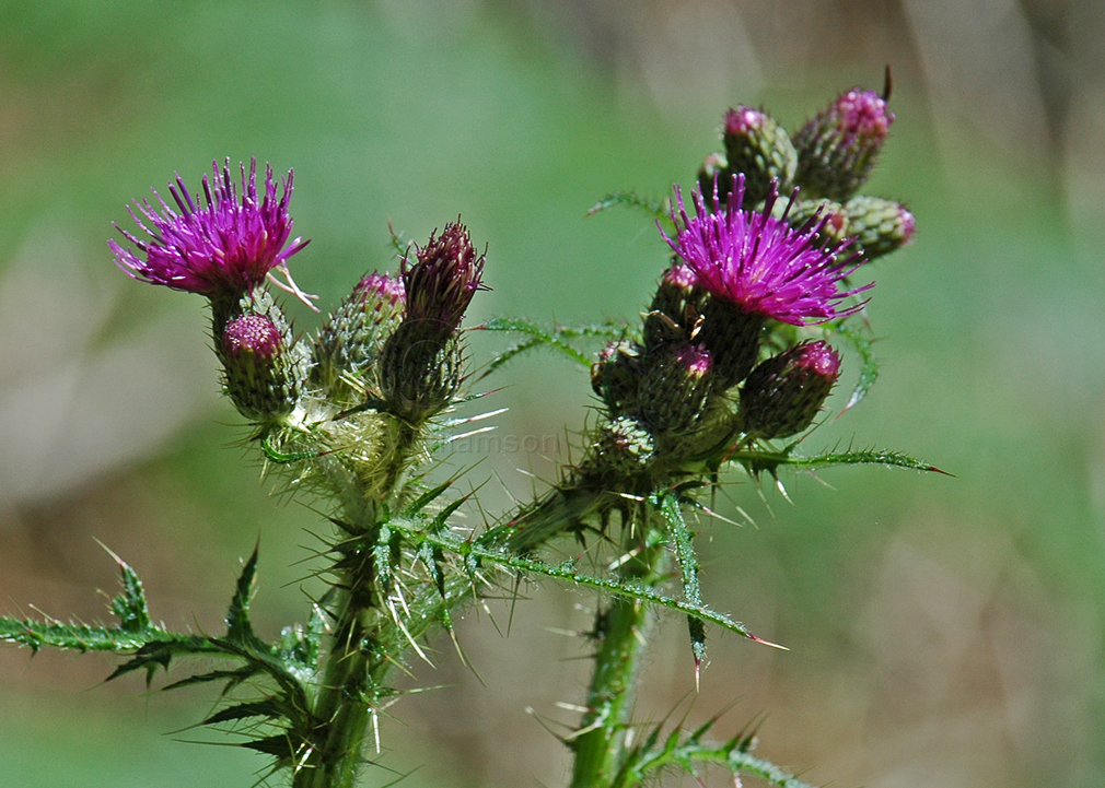 Scottish-Thistle.jpg